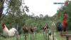 Ayam Kokok Balenggek atau AKB Yang Merdu Suara