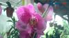 Parsel Bunga Anggrek, Hantaran Cantik di Hari Raya Idul Fitri