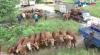 Persiapan Kurban, 1.500 Ekor Sapi Madura Didatangkan ke Kalimantan Tengah