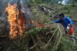 Tim Gabungan Musnahkan 1,5 Hektare Ladang Ganja di Aceh