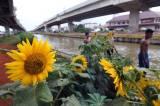 Melihat Cantiknya Bunga Matahari Hiasi Bantaran Kali Malang