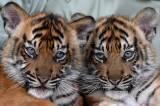 Lucunya Bayi Harimau Sumatera di Taman Safari Prigen