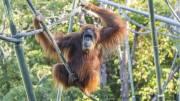 Tak Mau Kalah, Orangutan di San Diego Divaksin COVID-19 Eksperimental