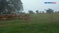 Mirip di Selandia Baru Inilah Peternakan Sapi Milik Kementan