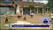 Babi Hutan Masuk Kampung dan Mengamuk, Tiga Warga Terluka Parah