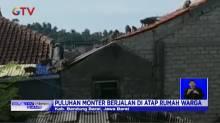 Kawanan Monyet Liar Serbu Permukiman Warga di Lembang Bandung