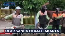 Petugas Tangkap Ular Sanca di Kali Kawasan Jakarta Barat