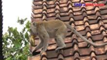 Teror Monyet Liar Resahkan Warga. Nalagati, Banten