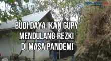 Budi Daya Ikan Gupy Mendulang Rezki di Masa Pandemi