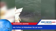 Kemunculan Hiu Tutul di Perairan Teluk Naga Terekam Kamera Ponsel