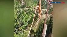 Viral Pengidap Gangguan Jiwa Selamatkan Kera Tersangkut Kabel Listrik