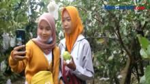 Asyiknya Berwisata Petik Jambu di Boyolali, Jawa Tengah
