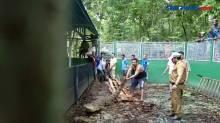 Buaya Curian Ditemukan Hendak Mangsa Hewan Ternak Warga di Alor NTT