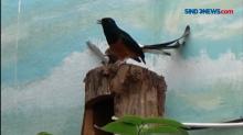 Ternak Burung Murai Batu Jadi Bisnis yang Menjanjikan