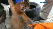 Evakuasi Monyet Bekantan di Samarinda Berlangsung Dramatis