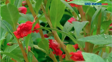Petani Bunga Pacar Atau Bunga Tabur Dulang Untung Jelang Ramadan