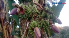 Pohon Pisang Unik Berbuah Enam Tandan