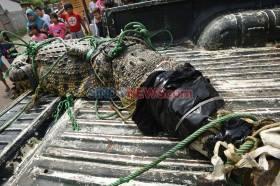 BKSDA Banten dan Warga Tangkap Buaya Muara Sepanjang 3 Meter