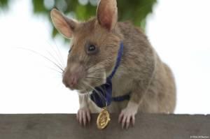 Deteksi 39 Ranjau di Area Seluas 20 Lapangan Bola, Tikus Ini Dapat Medali Emas