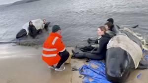 Upaya Penyelamatan Berakhir, 350 Paus yang Mati Mulai Dibuang ke Laut