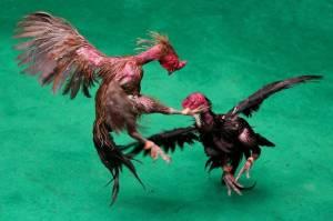 Bunuh Tuannya, Ayam Jago untuk Sabung Ini Dibawa ke Kantor Polisi