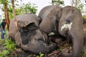 Belasan Gajah Liar Asia di India Mati Tersambar Petir