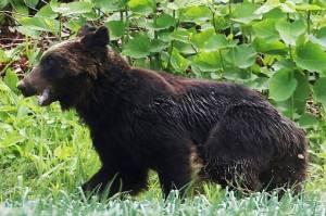 Berkeliaran dan Serang Penduduk, Beruang Coklat Ditembak Mati