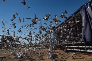 Sekitar 5.000 Merpati Hilang Misterius di Udara Segitiga Bermuda