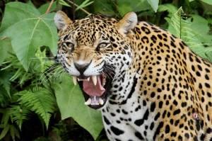 Aksi Iseng Berakibat Fatal, Pria AS Terluka karena Mengejek Jaguar