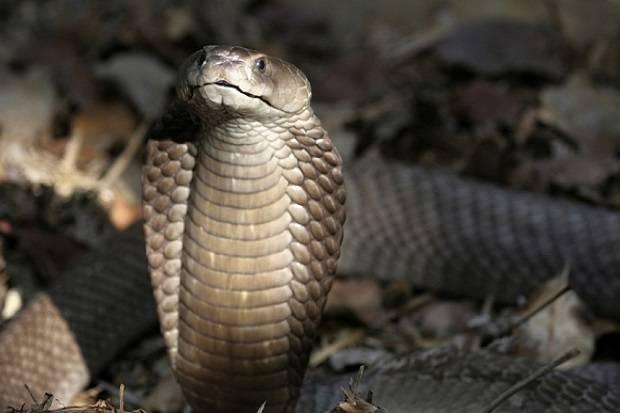 Pria India Bunuh Istri dengan Kobra setelah Gagal dengan Ular Viper