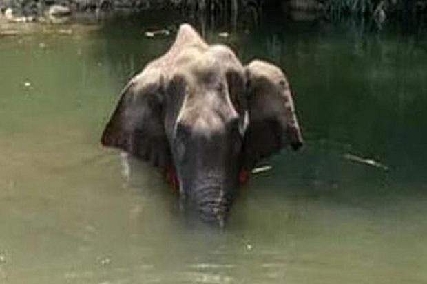 Makan Nanas Yang Diisi Petasan Gajah Hamil Di India Mati