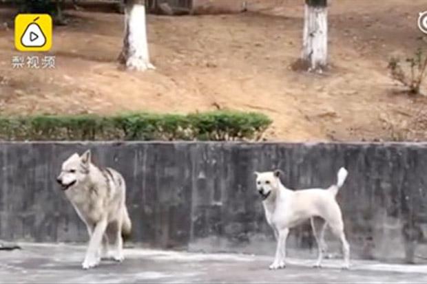Heboh Kebun Binatang China Coba Samarkan Anjing Sebagai Serigala