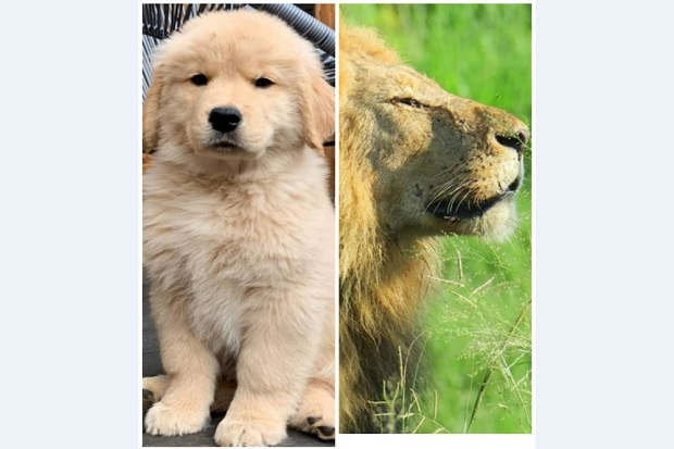 Viral, Kelakuan Bonbin China Samarkan Anjing sebagai Singa Afrika