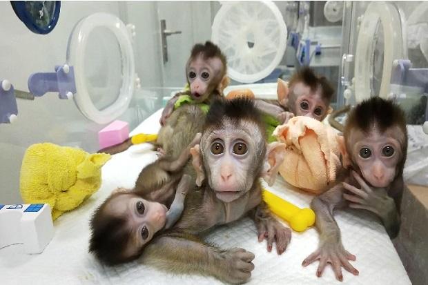 Bikin Geger, Ilmuwan AS Ciptakan Makhluk Campuran Manusia-Monyet