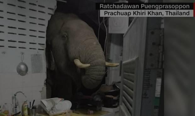 Gajah Tembus Rumah untuk Cari Makanan di Dapur, Habitat Asli Menyusut