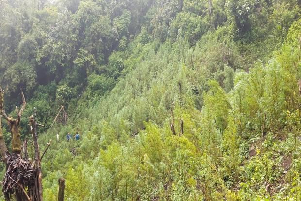 Tim Gabungan Musnahkan 5 Hektare Ladang Ganja di Gunung Simpang Pahu